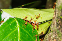 Trabajo en equipo rojo de las hormigas Foto de archivo