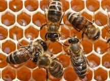 Trabajo joven de las abejas Foto de archivo libre de regalías