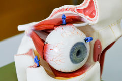 Trabajo miniatura del científico en el modelo del ojo humano Imagen de archivo libre de regalías