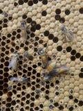 Trabajo ocupado de la abeja de la miel en el panal Imagenes de archivo