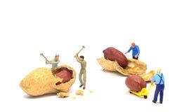 Trabajo para los cacahuetes Fotografía de archivo libre de regalías