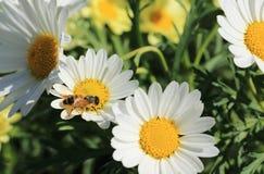 Trabajo para una abeja en un día soleado Fotografía de archivo libre de regalías