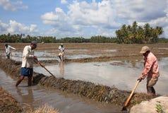 Trabajo srilanqués de los hombres sobre campo del arroz Imágenes de archivo libres de regalías