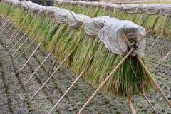 Trabajo tradicional de la granja en Japón imagen de archivo libre de regalías