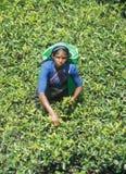 Trabajos de las mujeres del Tamil que trabajan en las plantas de té de Sri Lanka fotografía de archivo