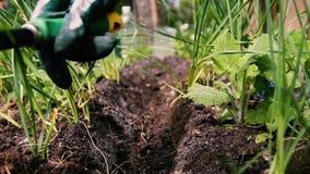 Trabajos del jardín, el escardar de la tierra por los rastrillos de malas hierbas almacen de metraje de vídeo