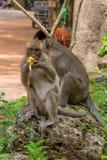 Trabajos múltiple adultos del mono de macaque En el puesto de observación mientras que come el plátano fotos de archivo libres de regalías