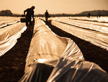 Trabalhador de contrato no campo do aspargo foto de stock