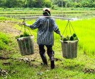 Trabalhador do homem no trabalho da exploração agrícola que leva a grama de arroz verde Fotografia de Stock