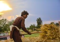 Trabalhador do homem que colhe o trigo Imagem de Stock