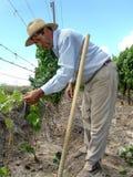 Trabalhador do vinhedo entre fotos de stock royalty free