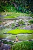 Trabalhador em almofadas de arroz no ifugao, pla dos batadworkers Fotos de Stock Royalty Free