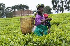 Trabalhador em uma plantação de chá imagens de stock