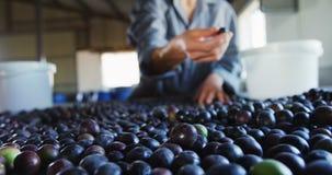 Trabalhador fêmea que põe a azeitona colhida na cubeta 4k vídeos de arquivo