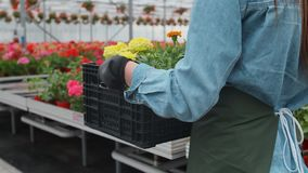 Trabalhador industrial feliz Carry Boxes Full da estufa das flores Sorriso e mulher feliz com flores ela que cresce video estoque