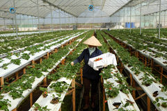 Trabalhador, jardim da morango, Dalat, Lat da Dinamarca Imagem de Stock