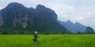 Trabalhador Laotian que remove ervas daninhas dos campos de almofada Foto de Stock