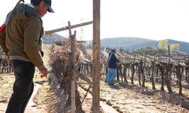 Trabalhador mexicano que apara colheitas do vinho em Valle de Guadalupe imagens de stock