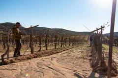 Trabalhador mexicano que apara colheitas do vinho em Valle de Guadalupe fotografia de stock royalty free