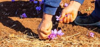 Trabalhador que colhe o açafrão em um campo no outono Imagens de Stock
