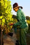 Trabalhador que colhe uvas da videira Fotografia de Stock