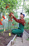 Trabalhador que processa os arbustos dos tomates na estufa Imagens de Stock Royalty Free