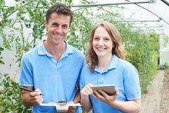 Trabalhadores agrícolas que verificam plantas de tomate usando a tabuleta de Digitas fotografia de stock