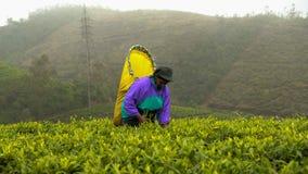 Trabalhadores azuis famosos das plantações de chá de Sri Lanka foto de stock