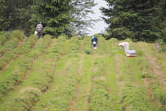 Trabalhadores de campo da morango Imagens de Stock Royalty Free