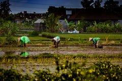 Trabalhadores de campo do arroz foto de stock royalty free