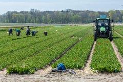 Trabalhadores nos campos de flor Fotos de Stock