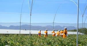 Trabalhadores que andam na exploração agrícola 4k do mirtilo filme