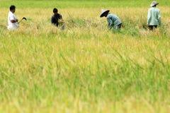 Trabalhadores que colhem a almofada no campo do arroz fotos de stock
