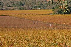 Trabalhadores que colhem uvas de Remaing foto de stock