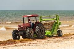 Trabalhadores que limpam a alga de Sargassum da praia fotografia de stock