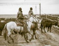 Trabalhando o feed-lot Vaqueiros americanos foto de stock