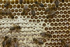 Trabalho ativo da equipe das abelhas na colmeia Fotografia de Stock Royalty Free