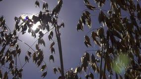 Trabalho colhendo a liga no campo de trigo Grão que colhe a liga Colhendo colheitas de grão, foco nas orelhas da aveia maduro vídeos de arquivo