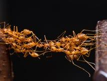 Trabalho da equipe de formigas vermelhas do tecelão Imagem de Stock Royalty Free