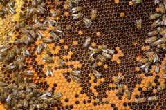 Trabalho das abelhas no favo de mel Fotos de Stock Royalty Free