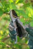 Trabalho do jardim com tesouras de poda Foto de Stock