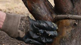 Trabalho do jardim da mola, tratamento da árvore de maçã Manchando a composição curativa em um tronco 4K filme