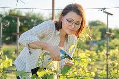 Trabalho do jardim do verão da mola no vinhedo Mulher madura que trabalha com as tesouras da tesoura de podar manual com arbustos imagens de stock royalty free