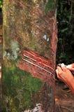 Trabalho em uma árvore da borracha Fotografia de Stock