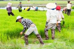 Trabalho no campo do arroz Imagem de Stock