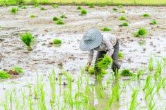 Trabalho no campo do arroz Foto de Stock Royalty Free