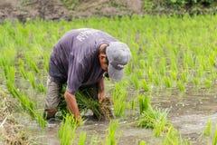 Trabalho no campo do arroz Imagens de Stock Royalty Free