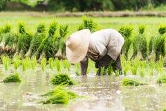 Trabalho no campo do arroz Imagens de Stock
