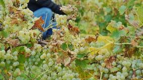 Trabalho no vinhedo Recolha o grupo maduro das uvas brancas filme