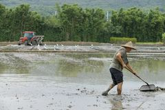 Trabalho nos campos do arroz imagens de stock